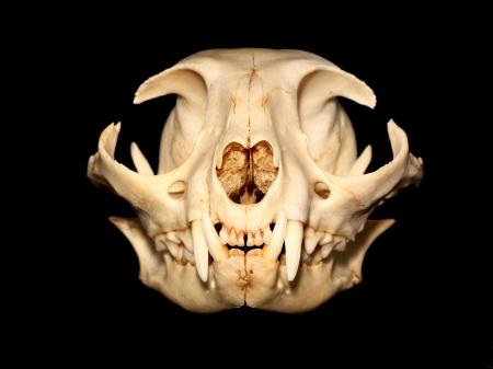 Crâne Cat Banque d'images