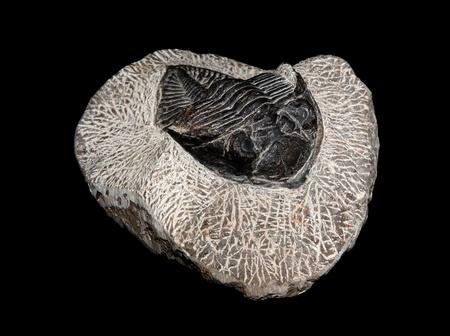 devonian: Trilobite, Odontochile, from the Devonian of Morocco