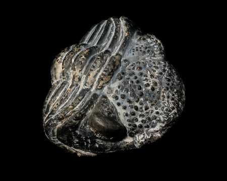Trilobite fossil, Phacops, from the Devonian of Morocco photo