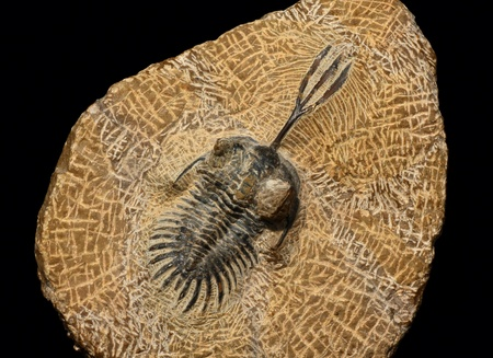 Trilobites from the Devonian of Morocco Stock Photo - 12802955