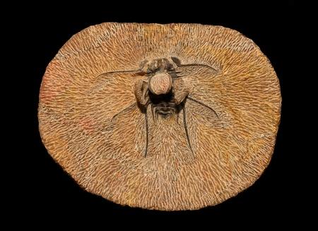 Trilobite fossil, Dicranurus monstruosus, from the Devonian of Morocco photo