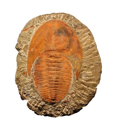 Los trilobites del Cámbrico de Marruecos Foto de archivo - 12915421
