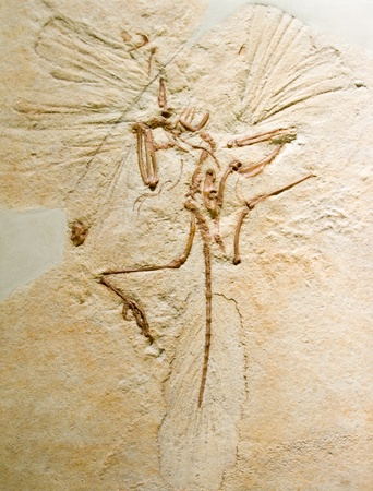 Archaeopteryx, fossil from the Jurassic of Germany