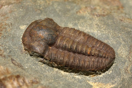 Trilobite fossil, Ellipsocephalus hoffi, from the Cambrian of Czech Republic, 10 mm Stock Photo