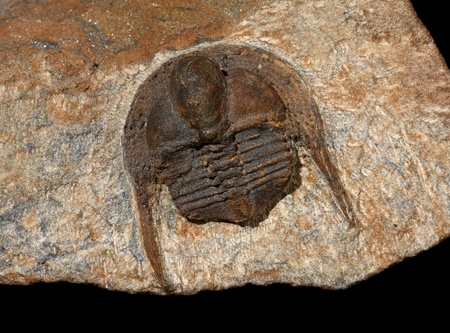 Trilobite fossil, Onnia sp, from the Ordovician of Morocco photo