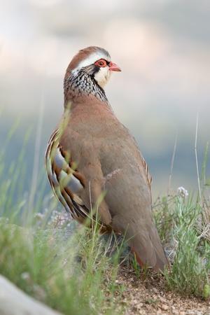 kuropatwa: Red legged partridge Zdjęcie Seryjne