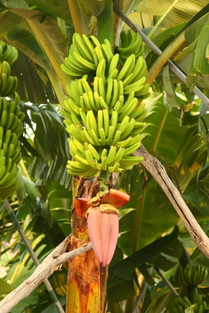 Plantains of Canary Islands photo