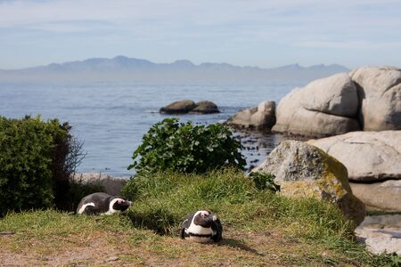 south african birds: South african penguins, Cape Town