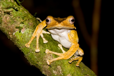 File Eared Tree Frog, Polypedates otilophus, Borneo Stock Photo - 16081029