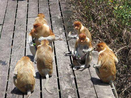 proboscis: Proboscis monkey or long nosed monkey, Nasalis larvatus, Borneo