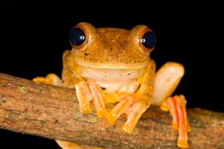 Harlequin Tree Frog, Rhacophorus pardalis, Borneo Stock Photo - 16080994