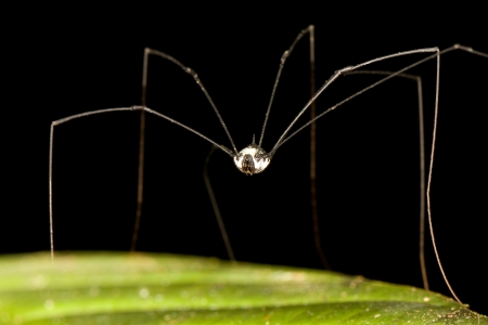 Daddy long legged spider, Borneo Stock Photo - 14715426
