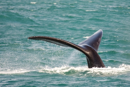 Southern right whale, Eubalaena australis, in South Africa Stock Photo