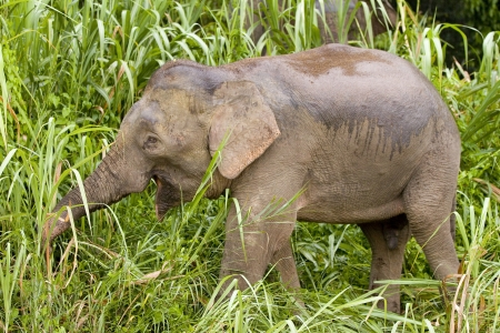 Borneo Pygmy Elephant, Elephas maximus borneensis, Malaysia Standard-Bild
