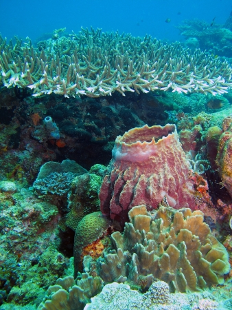 Coral reef in Lankayan island, Borneo photo
