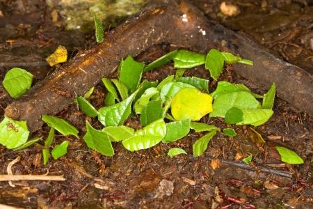 hormiga hoja: Las hormigas cortadoras de hojas, Atta, en la selva amaz�nica