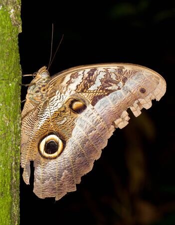 Owl butterfly, Caligo sp , in Amazon rainforest Stock Photo - 14702593