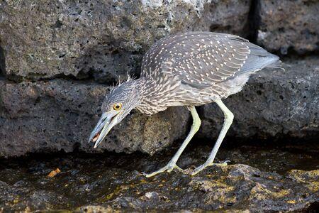 striated: Striated heron, Butoides striata, in Galapagos islands Stock Photo