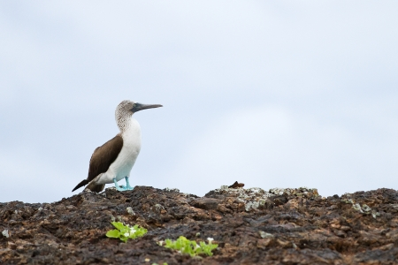 booby: Blue footed booby, Sula nebouxii, in Galapagos islands