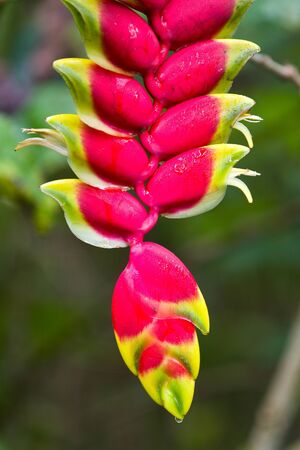 Wild plantain, Heliconia, in Amazon rainforest Stock Photo - 14715473