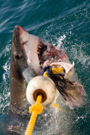 White shark in South Africa