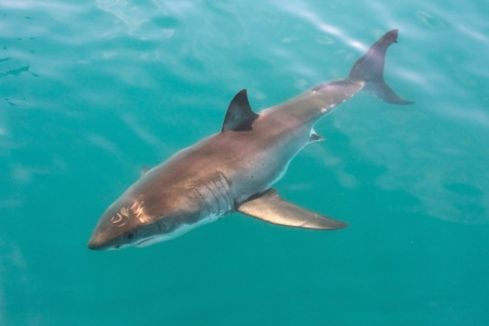 White shark in South Africa photo
