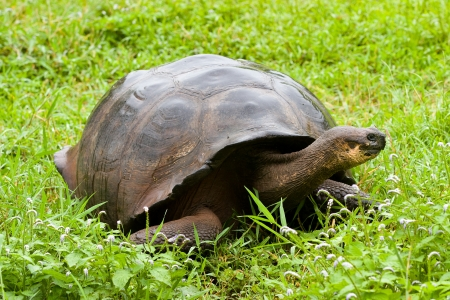 Galapagos giant tortoise, Geochelone porteri, on Santa Cruz Island, Galapagos Stock Photo