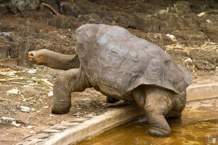 고독한 조지, 유명한 거대한 갈라파고스 거북이