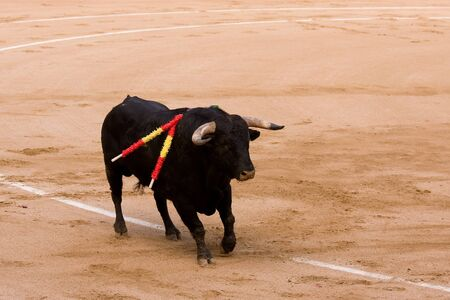Bull at bullfight photo