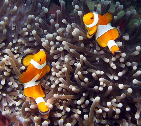 pez payaso: Clownfish, Amphiprion ocellaris, en Lankayan isla, Borneo