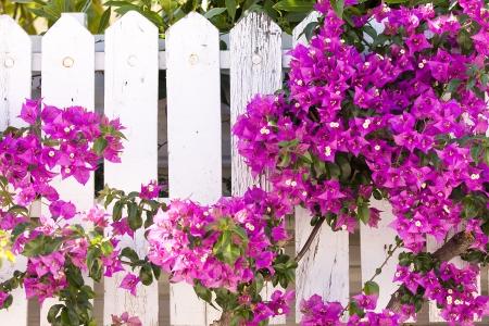 bougainvillea flowers: Purple Bougainvillea in Mediterranean country