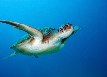 Onechte zeeschildpad, Caretta Caretta, in Tenerife, Spanje Stockfoto