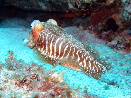 Common cuttlefish or European common cuttlefish, Sepia officinalis