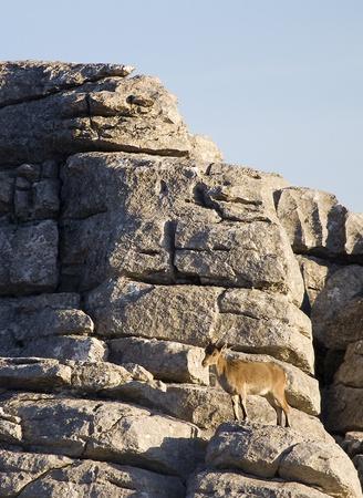 capra: Iberian ibex, Capra pyrenaica