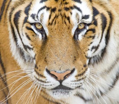 panthera tigris: Tiger, Panthera tigris Foto de archivo