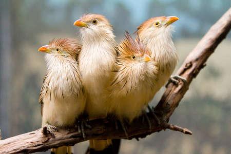 un coucou: Guira Cuckoo
