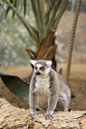 ring tailed: Ring tailed lemur  Stock Photo