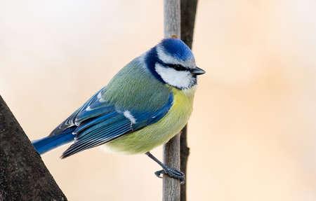 blue tit: M�sange bleue, Cyanistes caeruleus ou Parus caeruleus