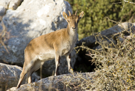 capra: Iberian ibex, Spanish ibex, Spanish wild goat, or Iberian wild goat, Capra pyrenaica Stock Photo