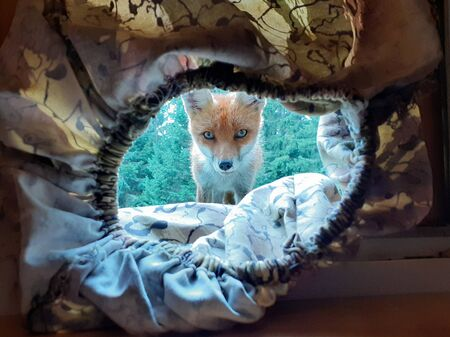 Fox spying on a photographer inside a hide.