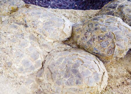 Sauropod dinosaur eggs, Cretaceous, France