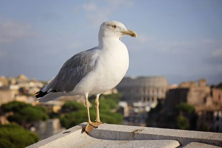An adult common gull or Mew gull standing on a roof, Rome on the background Stockfoto