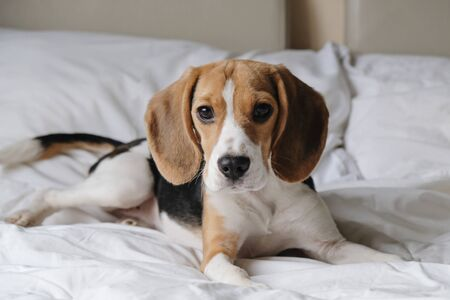 Cute smart dog beagle lying on a white bed in bedroom Imagens