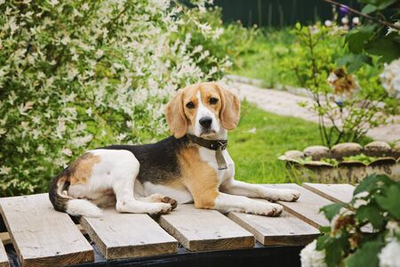 Beautiful dog Beagle sitting in the garden