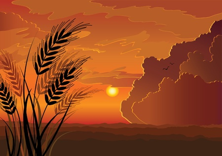 corn field: Vector sunset landscape with silhouette of rye, hill and red cloudy sky background