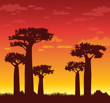Silhouette of baobabs on a sunset sky background. Nature of Madagascar.
