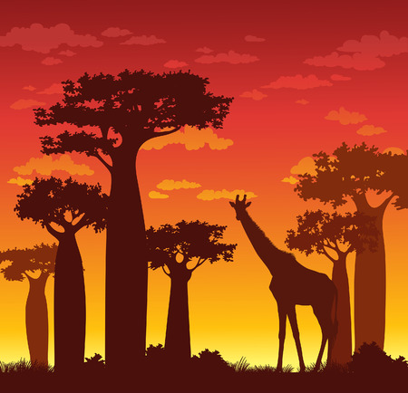 red sunset: Silhouette of giraffe and baobabs on a red sunset sky. African vector landscape. Illustration