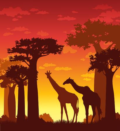 Sunset landscape vector: cảnh quan châu Phi. Vector hình bóng của hươu cao cổ và baobabs trên bầu trời hoàng hôn. minh họa tự nhiên.