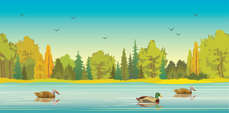 Wild ducks with reflection at the calm lake and green forest on a blue sky background. autumn landscape. Nature panoramic illustration.