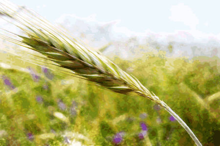Illustration of a unripe ear of wheat in field Illustration